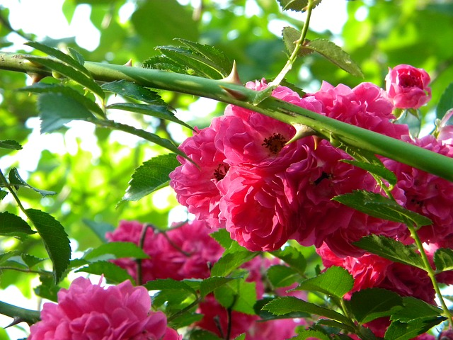 miniaturní růže